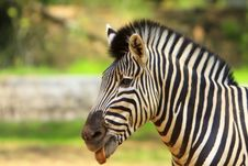 Free Zebra Royalty Free Stock Images - 5638339