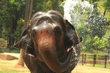 Free Elephant Royalty Free Stock Photos - 5638428