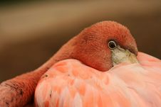 Free Closeup Of Flamingo Royalty Free Stock Images - 5638619