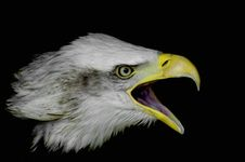 Free Bald Eagle Royalty Free Stock Image - 5638686