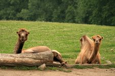 Free Two Lazy Camels Royalty Free Stock Photography - 5638997