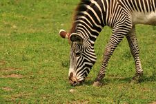 Free Zebra Stock Photo - 5639100