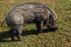 Free Boar Stock Image - 5639121