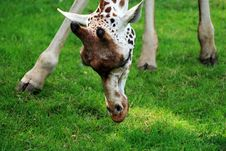 Free Eating Giraffe - Closeup Royalty Free Stock Photo - 5639165