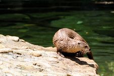 Free Otter Stock Photos - 5639243