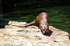 Free Otter Royalty Free Stock Image - 5639246