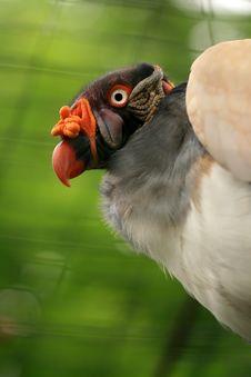 Free Portrait Of Vulture Stock Photo - 5639250