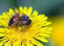 Free Close-up Of Bee  Strewed With Pollen Stock Photography - 5639492