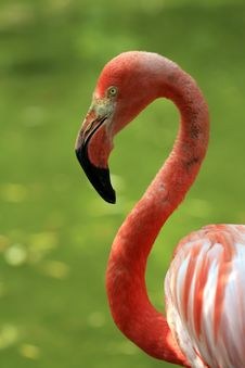 Free Portrait Of Flamingo Stock Image - 5639721