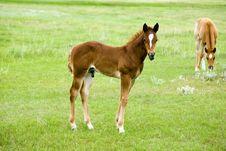 Quarter Horse Foal Stock Image