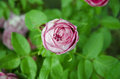 Free Pink Rose Bud Stock Images - 56384754