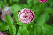 Pink Rose Bud Stock Images
