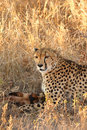 Free Cheetah On A Kill Stock Image - 5640551