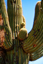 Free Saguaro Cactus Stock Photos - 5640923