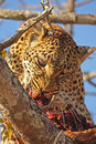 Free Leopard In A Tree With Kill Stock Photo - 5641120