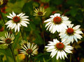 Free White Daisies Royalty Free Stock Images - 5641169