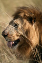 Free Majestic Lion Portrait In The Grass Royalty Free Stock Image - 5642736