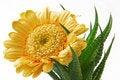 Free Gerber Daisy Into Clutches Of Cactus Stock Photos - 5643193