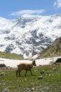 Free Mountain Goat Stock Photo - 5645350