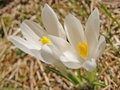 Free White Crocuses Royalty Free Stock Photography - 5646697