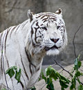 Free White Tiger 2 Royalty Free Stock Photography - 5647367
