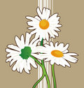 Free Chamomile Flowers Royalty Free Stock Photography - 5649287