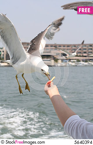 Free Feeding A Seagull Stock Images - 5640394
