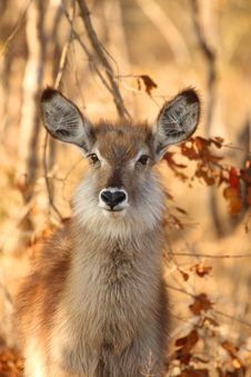 Free Female Waterbuck Stock Images - 5640234