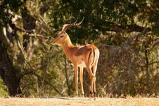 Free Male Impala Royalty Free Stock Image - 5640416