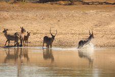Herd Of Waterbuck Stock Photo