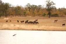 Free Migration Of Wildebeest Royalty Free Stock Photography - 5640437