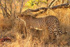 Free Cheetah On A Kill Royalty Free Stock Photos - 5640498