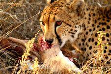 Free Cheetah On A Kill Stock Photo - 5640550