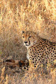 Free Cheetah On A Kill Stock Image - 5640551