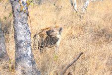Free Hyena In Sabi Sands Stock Photo - 5640690