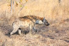 Free Hyena In Sabi Sands Royalty Free Stock Image - 5640696