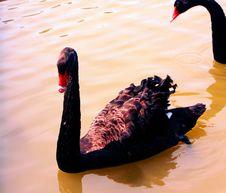 Free Black Swan Royalty Free Stock Photography - 5640727