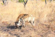 Free Hyena In Sabi Sands Stock Photo - 5640740