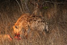 Free Hyena On A Kill In Sabi Sands Stock Images - 5640744