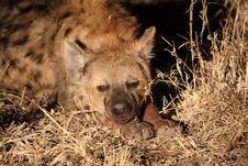 Free Hyena In Sabi Sands Royalty Free Stock Image - 5640746
