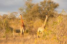 Free Giraffe In Sabi Sands Royalty Free Stock Photos - 5640798