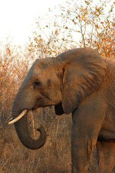 Free Elephant In Sabi Sands Stock Photo - 5640870