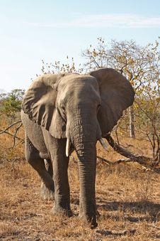 Free Elephant In Sabi Sands Stock Photo - 5640880