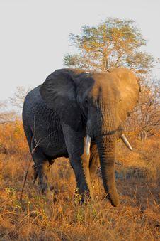 Free Elephant In Sabi Sands Stock Image - 5640891