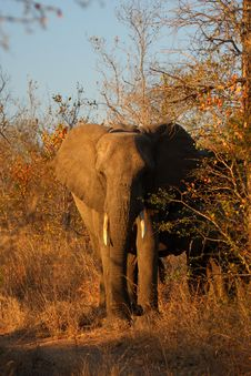 Free Elephant In Sabi Sands Royalty Free Stock Photo - 5640895