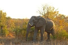 Free Elephant In Sabi Sands Royalty Free Stock Photos - 5640948