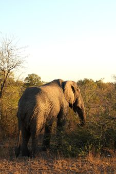 Free Elephant In Sabi Sands Stock Images - 5640964