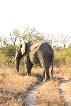 Free Elephant In Sabi Sands Royalty Free Stock Images - 5641029