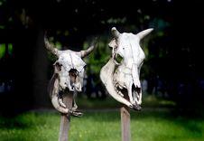 Free Cow Skulls Stock Image - 5641271