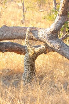 Free Leopard In A Tree Stock Photography - 5641292
